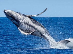 whale-breaching